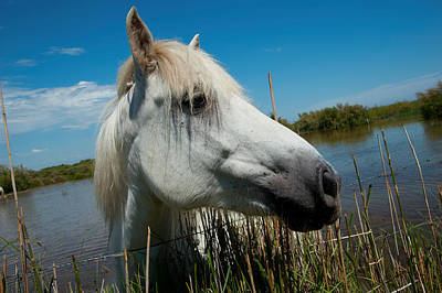 White Camargue Horse With Head Art Print by Panoramic Images