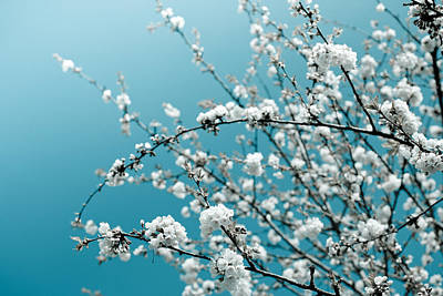Photograph - White Cherry Blossoms Blooming In The Springtime by Nila Newsom