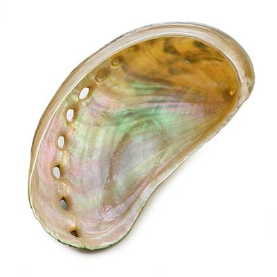 White Coloured Abalone Shell Art Print by Science Photo Library