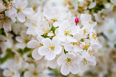 White Crab Apple Trees In Spring Bloom Original