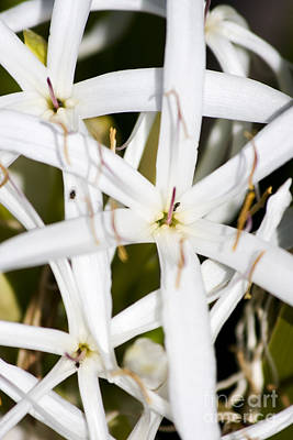 Photograph - White Crinum by Jorgo Photography - Wall Art Gallery