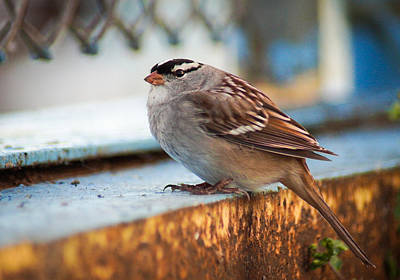 White Crowned Sparrow Print by Bill Pevlor