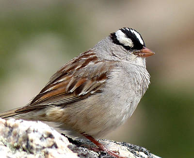 Photograph - White Crowned Sparrow by Thomas Samida