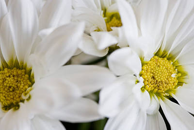 White Daisy Art Print by John Holloway