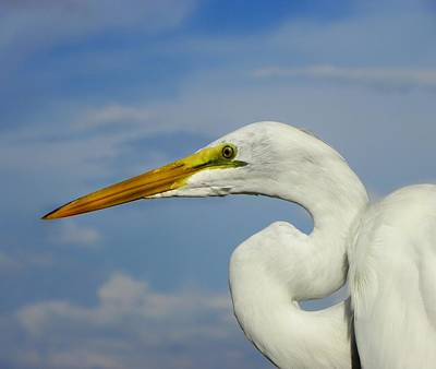 Photograph - White Egret by Carolyn Bistline