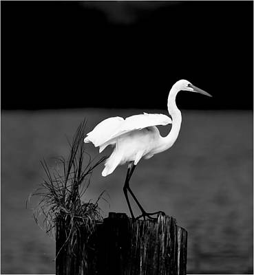 Louisiana Swamp Photograph - White Egret by Cecil Fuselier
