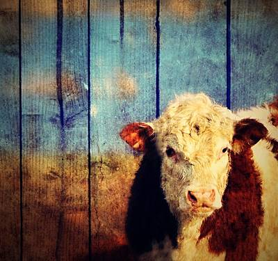 Photograph - White Face  Ohio Cow by Marysue Ryan