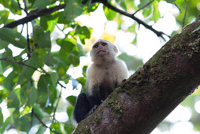 Costa Rica Photograph - White-faced Capuchin by Natural Focal Point Photography
