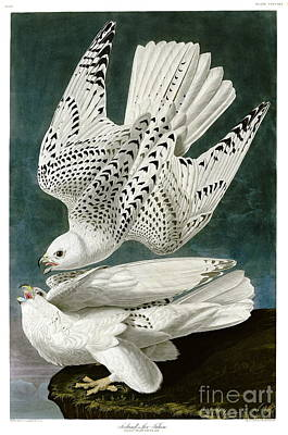 Falcon Drawing - White Falcon  by Celestial Images