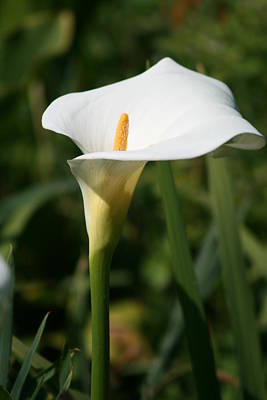Photograph - White Flower by Phoenix De Vries