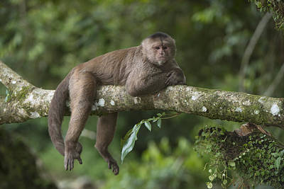 Capuchin Photograph - White-fronted Capuchin Puerto by Pete Oxford