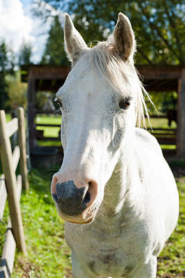 Gray Muzzle Photograph - White Horse  by Ulrich Schade