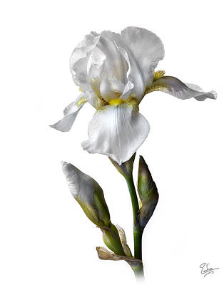 Photograph - White Iris by Endre Balogh