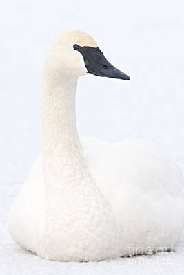Swan Photograph - White On White by Larry Ricker