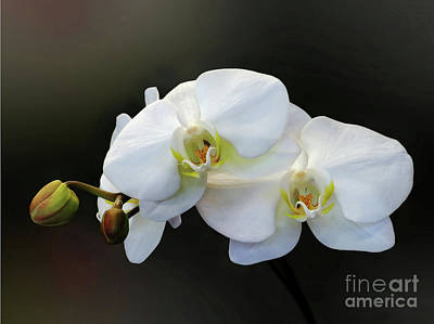 Orchid Buds Photograph - White Orchid - Doritaenopsis Orchid by Kaye Menner