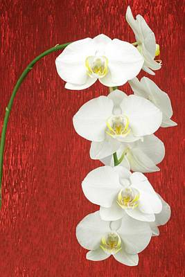 Photograph - White Orchid by Rudy Umans