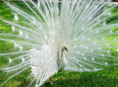 Photograph - White Peacock by John Johnson