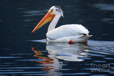 Photograph - White Pelican by Frank Townsley