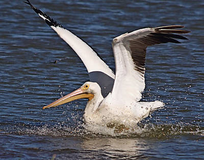 Photograph - White Pelican by Ira Runyan
