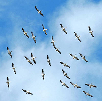 Photograph - White Pelican Sky by Deborah Smith