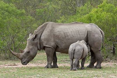 White Rhino And Calf Art Print by Bob Gibbons