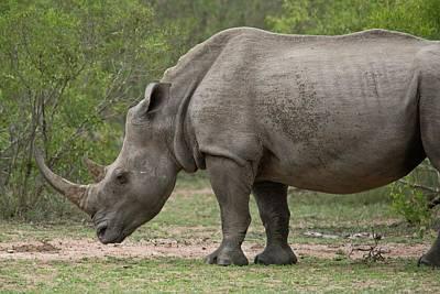 One Horned Rhino Photograph - White Rhino by Bob Gibbons