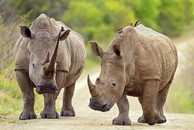 Pachyderm Photograph - White Rhinos by Bildagentur-online/mcphoto-schaef