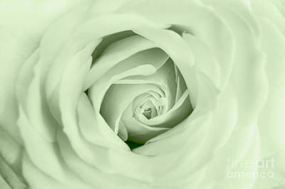 Photograph - White Rose by Eden Baed