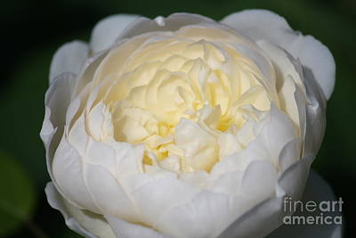 Photograph - White Rose by Mary-Lee Sanders