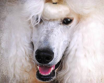 Standard Poodle Photograph - White Standard Poodle by Jai Johnson