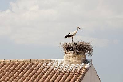 White Storks Nesting Print by Ashley Cooper