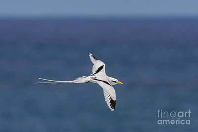 White-tailed Tropicbird Art Print