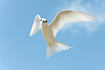 Tern Photograph - White Tern (gygis Alba Rothschildi by Daisy Gilardini