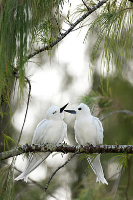 Grace Photograph - White Terns (gygis Alba Rothschildi by Daisy Gilardini