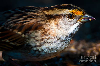 Airport Maps - White-throated Sparrow Portrait  by Robert McAlpine