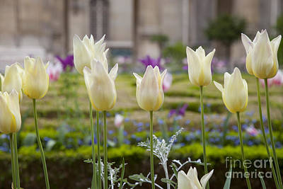 Photograph - White Tulips In Parisian Garden by Brian Jannsen