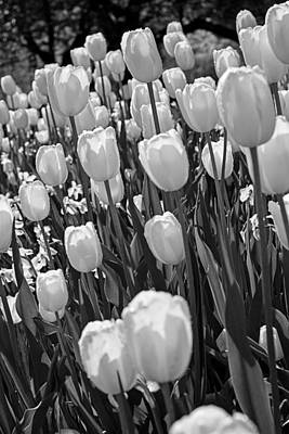 Photograph - White Tulips by Michael Porchik