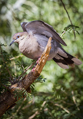 Art Print featuring the photograph White-winged Dove by Beverly Parks