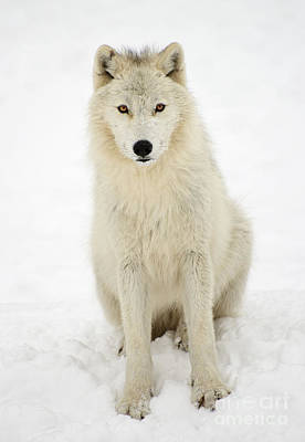 Photograph - White Wolf by Joshua McCullough