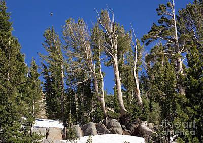 Whitebark Pines Photograph - Whitebark Pine Pinus Albicaulis by Bob Gibbons
