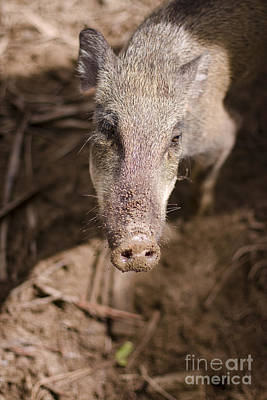 Boar Photograph - Wild Boar by Jorgo Photography - Wall Art Gallery