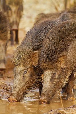 Boar Photograph - Wild Boar, Tadoba Andheri Tiger Reserve by Jagdeep Rajput