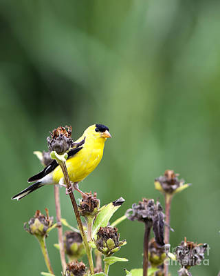 Wild Canary Bird Closeup Art Print by Brandon Alms