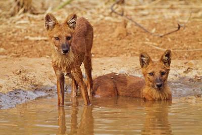 Wild Dogs In The Waterhole, Tadoba Art Print
