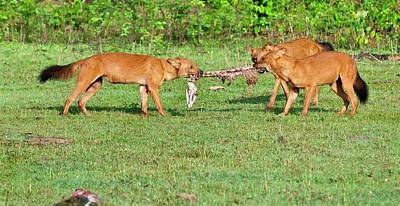 Red Dog Photograph - Wild Dogs Playing With A Carcass by K Jayaram