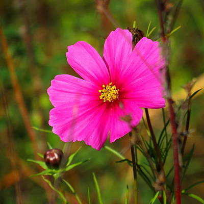 Photograph - Wild Flower by Eric Switzer