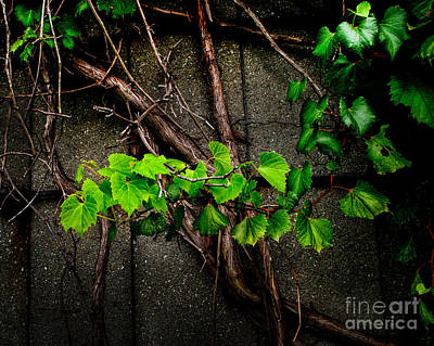Photograph - Wild Grape Vine by Michael Arend