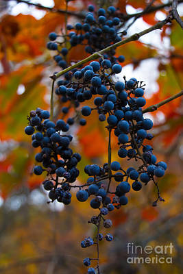 Photograph - Wild Grapes by Jim McCain