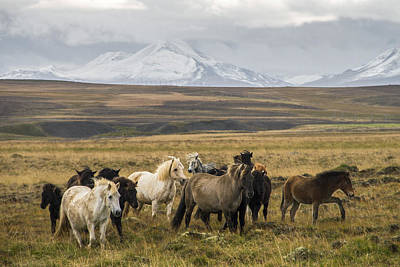 Photograph - Wild Icelandic Horses by For Ninety One Days