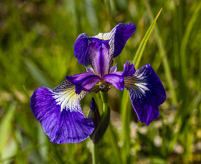 Photograph - Wild Iris by Doug Lloyd